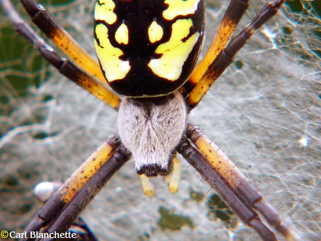Argiope aurantia femelle araign e du qu bec spider flickr - Araignee rouge savon noir ...