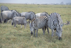 Zebras eating grass | by World Bank Photo Collection