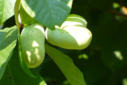 pawpaw fruits 2 | by dmitri_66