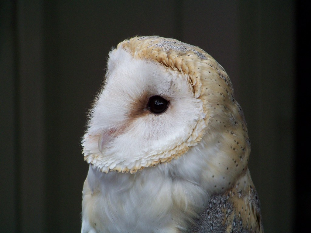 Barn Owl - Avenefica | Owl Symbolic Meaning found here ...