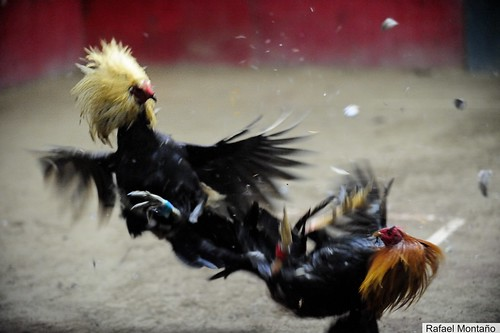 Gallos en el aire