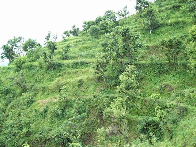 Terrace farming with fodder trees terraces with fodder for What does terrace farming mean