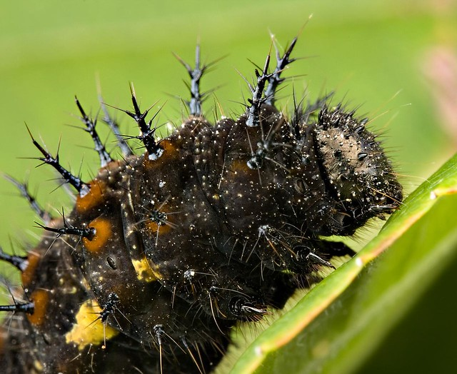 Black Spiked Caterpillar | I found this fella inching