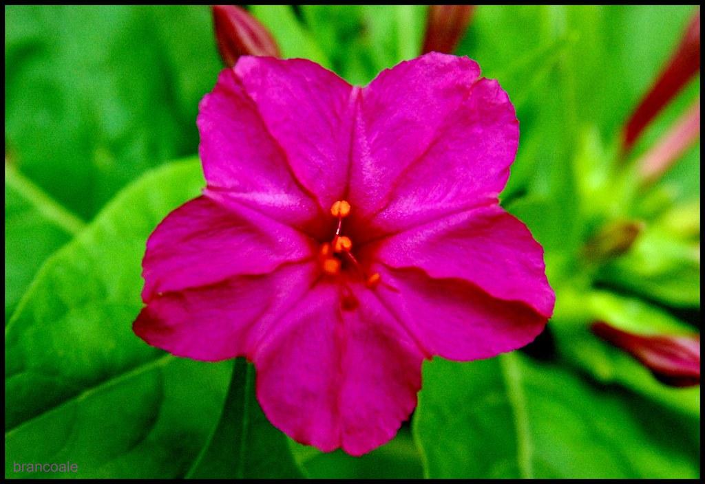 Resultado de imagem para imagens de flores fucsia