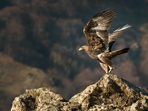 Golden Eagle Takeoff | by Mike Ashton