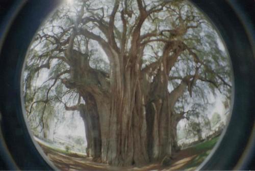 Arbol de tule ahuehuete el arbol mas grande del mundo for Arbol mas grande del mundo