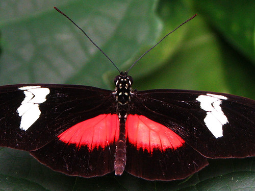 Mountain Longwing (Heliconius hortense) | by Toria Clark