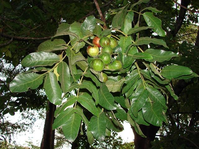 Burdekin plum tree | Burdekin plum tree Pleiogynium ...