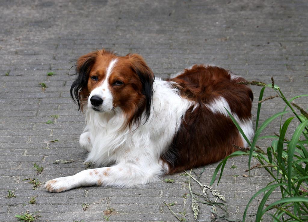 Holland And Holland >> kooikerhondje kasper the oldest dog breed from holland | Flickr