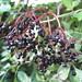 Stonegate walk - elderberries