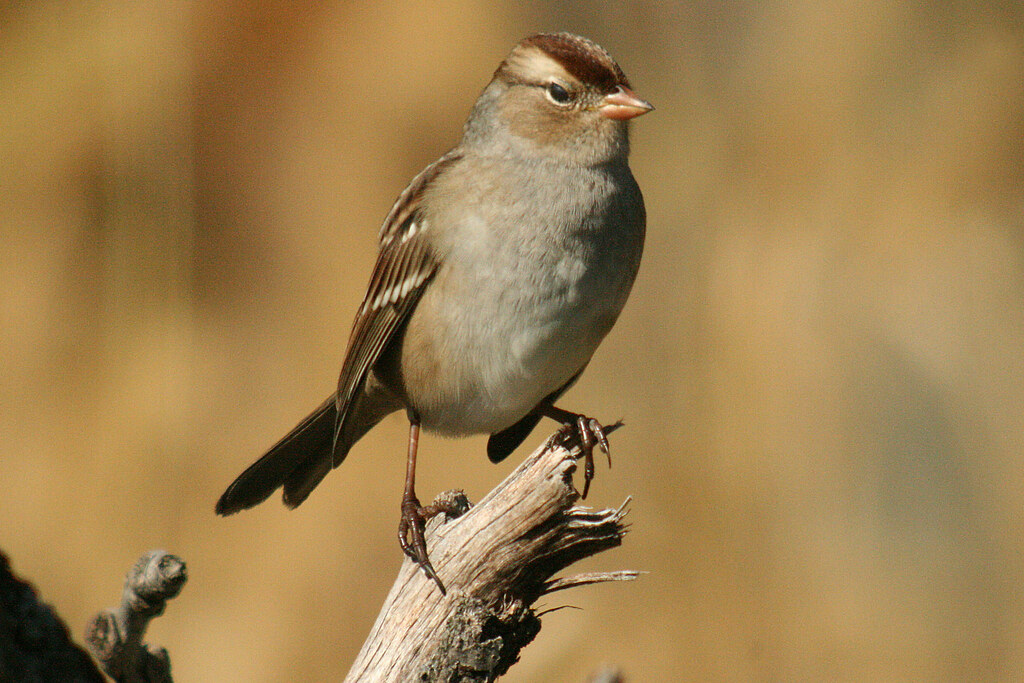 White crowned sparrow female