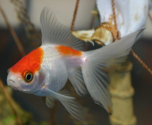 Fantail el fantail cola de abanico es el pez menos for Criadero de peces goldfish