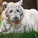 Tired white tiger cub