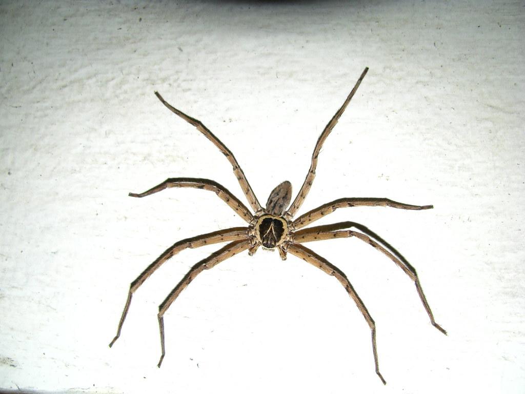 Identified: Banana Spider or Huntsman Spider [Heteropoda v ...