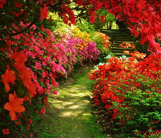 Azaleas at Valley Gardens | by Anguskirk