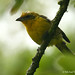 Flame-colored Tanager - female