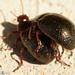 Escaravelhos acasalando // Beetles mating (Chrysolina bankii)
