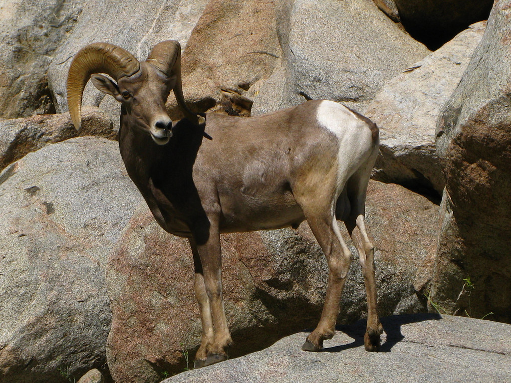 the background information of the bighorn sheep ovis candensis In californa, the desert bighorn, ovis canadensis nelsoni, is found in the dry, desert mountains of southeastern california the most evident feature of desert bighorn sheep is the large.