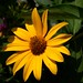Yellow Perennial Sunflower / zonnebloem