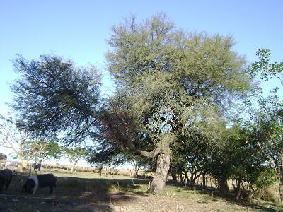 White carob tree prosopis alba algarrobo blanco origin for Centro del algarrobo