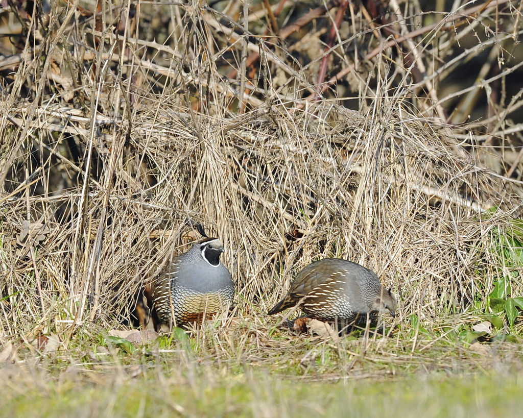 California quail william l finley national wildlife for California department of fish and wildlife jobs