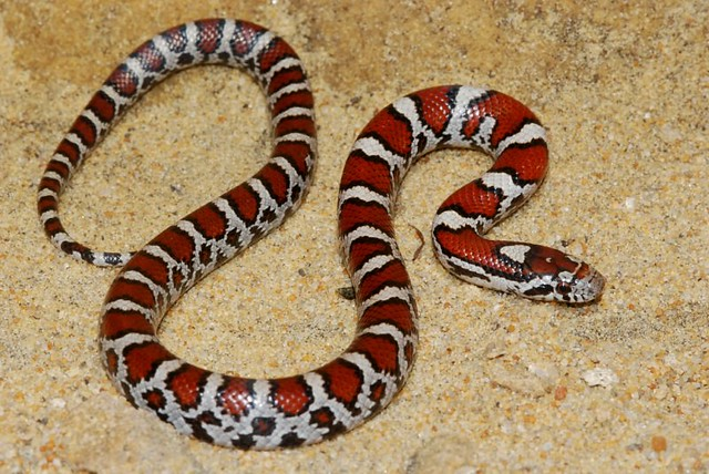 Eastern Milk snake ((Lampropeltis triangulum) | A juvenile ...