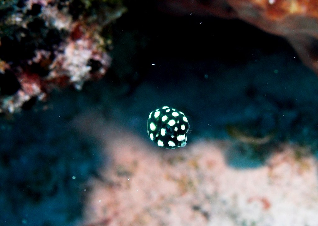 Juvenile Smooth Trunkfish Lil Guy Was About 1 5