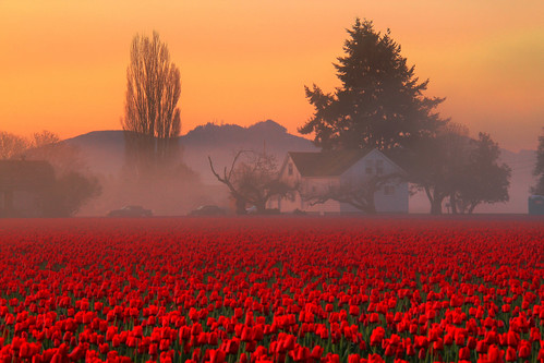 Skagit Valley Tulip Fields Foggy Farmhouse, Washington State | by Don Briggs