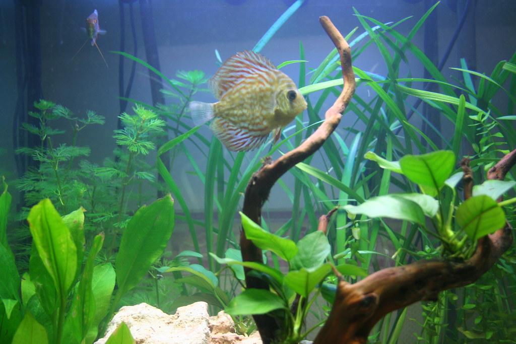 Symphysodon discus fish aka 39 flik 39 a new addition to for Fish tank antibiotics