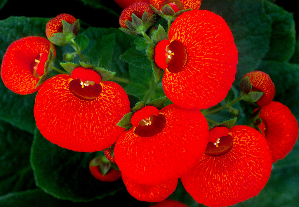 Calceolaria 1 Calceolariaceae Mexico To Patagonia