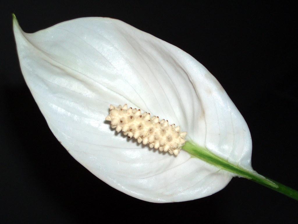 Spathiphyllum cuna de moises planta de interior rela flickr - Planta cuna de moises ...