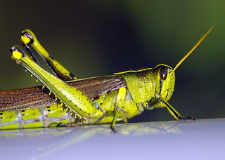 Grasshopper | by diverevan