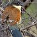 Burchell's Coucal (Centropus burchellii)