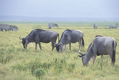 Zebras and wildebeast graze | by World Bank Photo Collection