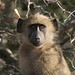 baby baboon 1