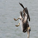Brown Pelican Diving 3/3 (used in NYPL article on the Gulf Oil Spill Disaster)