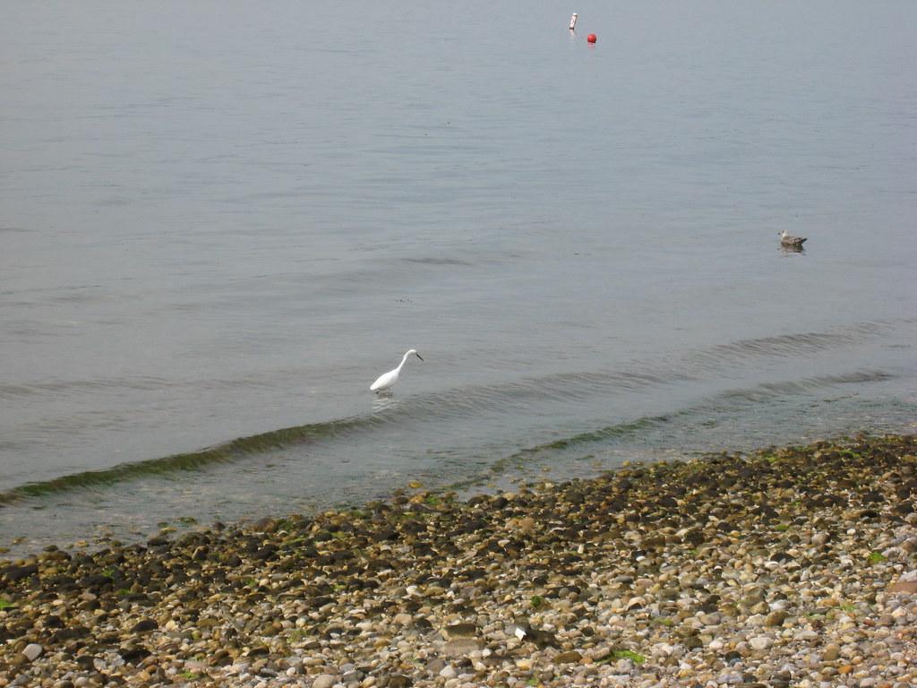 A snowy egret goes fishing in long island sound peter for Long island sound fishing report