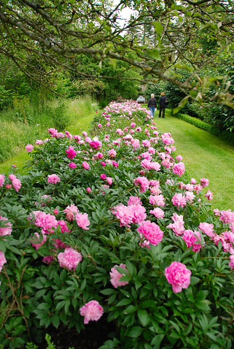 Halfway Down the Peony Border at Penshurst Place | by antonychammond