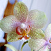 Phaleonopsis hybrid