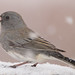 Dark-Eyed Junco - Slate Colored19