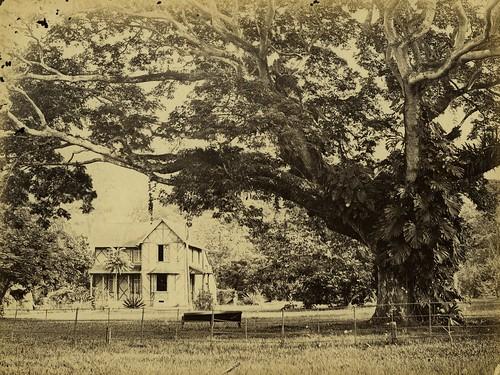 Silk Cotton Trees Silk Cotton Tree