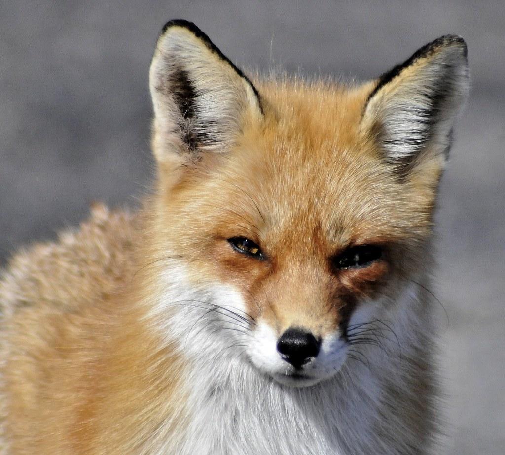 One eyed fox sandy hook nj bob jagendorf flickr - Animal a colorier ...