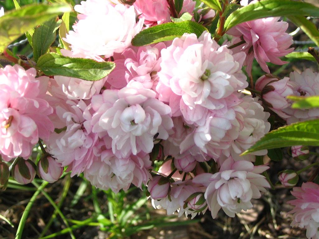 Flowering Almond Bush Sara
