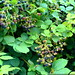 blackberries growing alongside the train tracks in lake oswego - DSC01719
