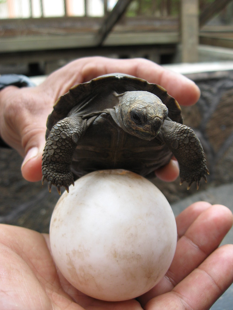 Baby Giant Tortoise On Isabella Island A Worker At The