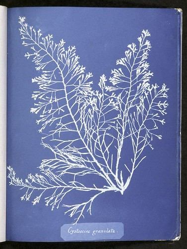 Cystoseira granulata. | by New York Public Library