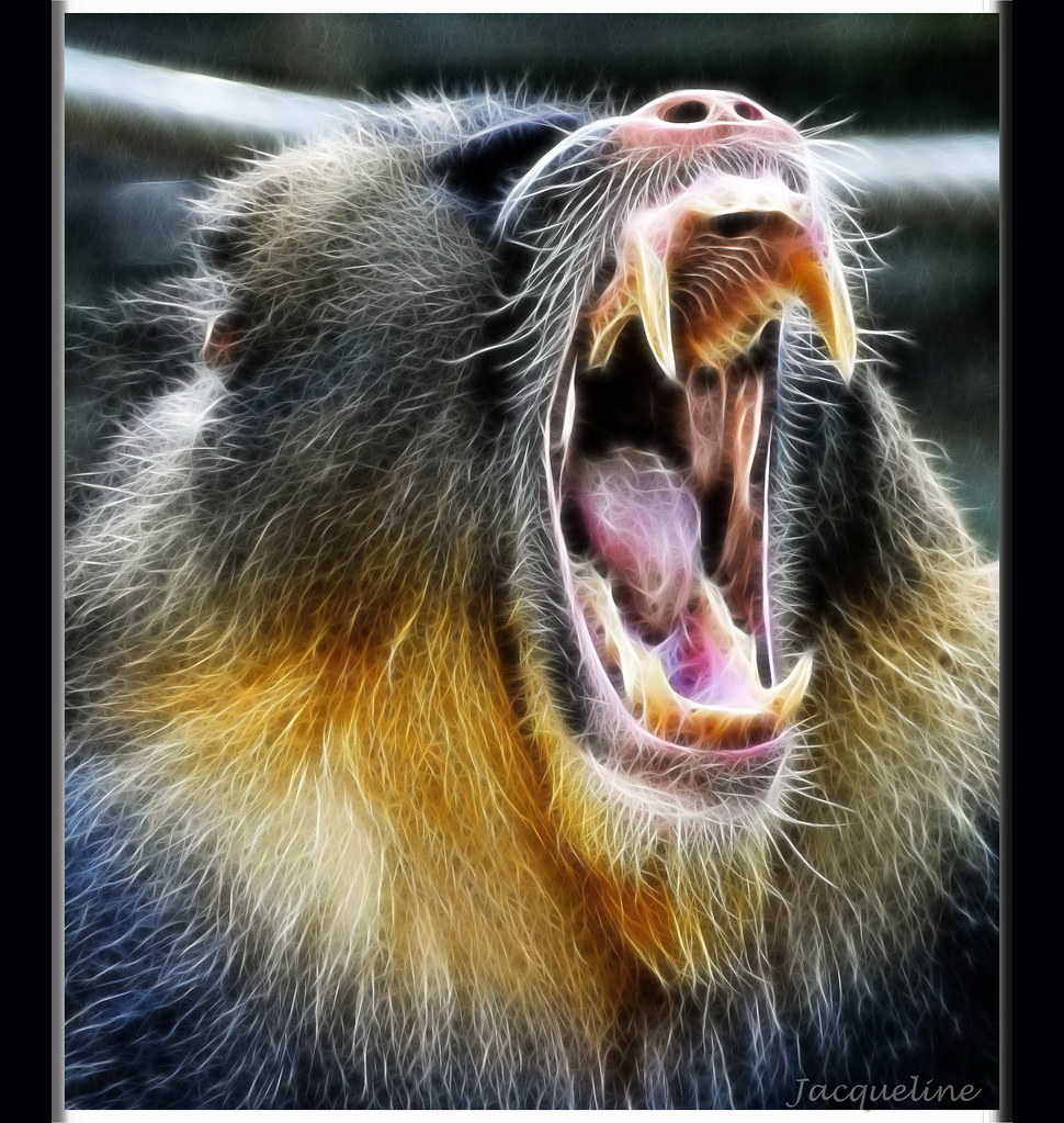 Mandrill monkey | The Mandrill is a primate and is ...