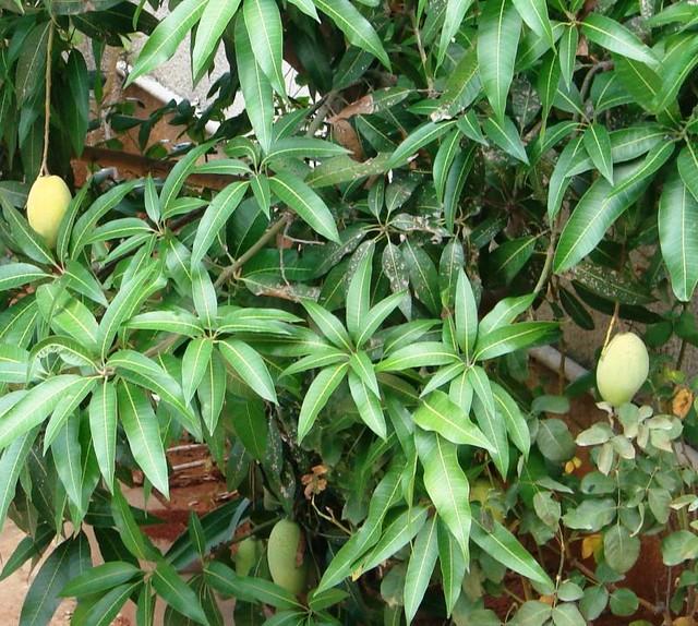 fiori e piante  Il mango cresce in tutte le aree tropicali,…  Flickr