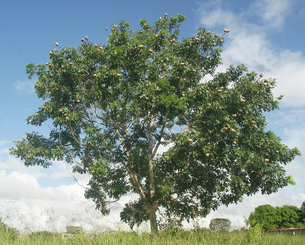 Caoba mahogany swietenia macrophylla lugar el for Arboles con sus nombres y caracteristicas