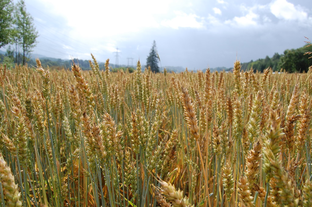 Kornåker | Måtte vasse i korn for å nå helleristningene ...